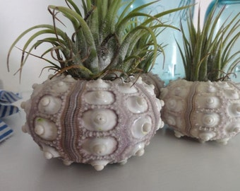 Sea Urchin, Beach Decor, Sea Urchins, Airplant in Urchin, Sea Urchin Shell - Set of 2, Free Gift Wrap Available, Gift for Her, Unique Gift