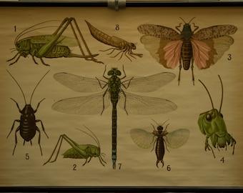 Vintage  Pull Down Chart Grashopper Dragonfly   School Chart