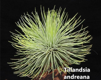 "Beautiful Unique Air Plant- 4"" to 6"" Tillandsia andreana For Large Terrarium Accessories,Work Desk Decoration,House Ornaments"