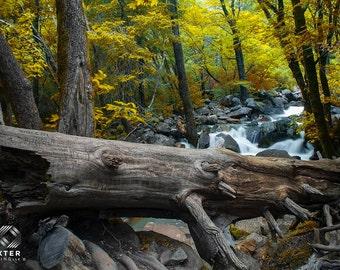 Fallen Tree, Old Tree, Yosemite Park, Waterfall, Rapids, Autumn Creek, Fine Art Print