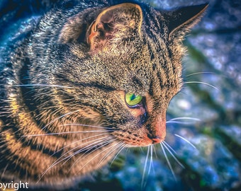Green Eyed Tiger Cat