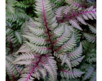 Regal Red Japanese Painted Fern, Athyrium Niponicum, 3 Plants, Perennial, Deciduous, Colorful, Dark Viloet Red, Silver Fronds, High Color,