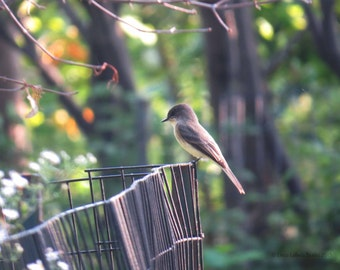 Eastern Phoebe, Fine Art ,Photography of Birds,  Autumnal Colors, Limited Edition, Interior design, decor