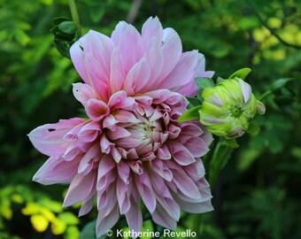 Dahlia Closeup Photograph