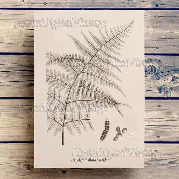 Fern, Antique botanical print, Illustration download, Fern wall art, Graphics, Digital images, Fern print, Print vintage JPG PNG 300dpi