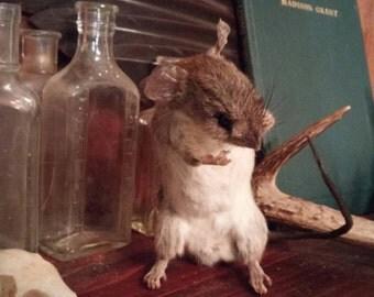 Taxidermy rat