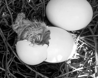 Set of 5  images Doves in Nest Digital Stock Photography Download Black and White