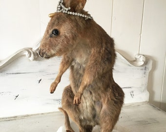 Very Rare Vintage Small Taxidermy Wallaby Mounted
