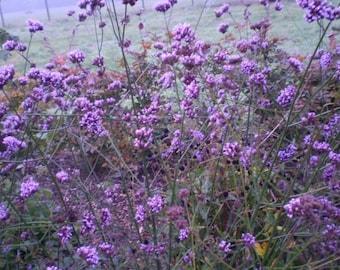 2 Young Norfolk Organic Verbena Bonariensis Cottage Garden Plant,Late Summer Flowering