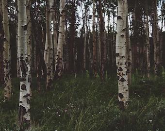 Birches - Birches Forest - Woodland - Forest - Forest Photo - Birches Photo - Digital Photo - Digital Download - Fine Art Photography