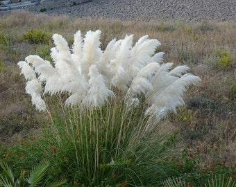 White Pampas Grass Seeds/Cortaderia selloana/Perennial 65+
