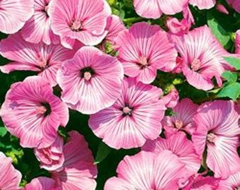 Rose Mallow Lavatera Trimestris Bright Rose Flower Seeds/Annual 40+