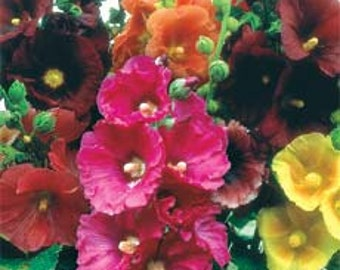 Alcea Hollyhock Flower Seed Mix / Perennial 50+