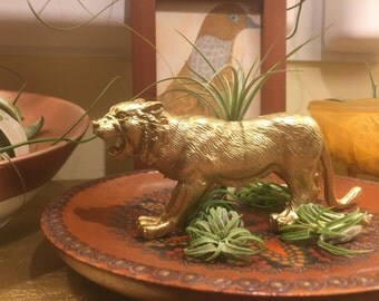 Gold tiger with air plant set