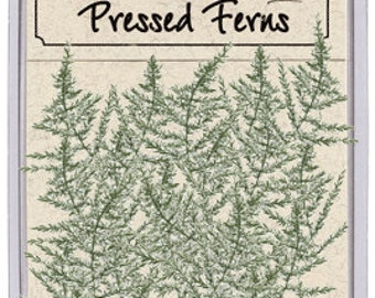 Real Pressed Dried Asparagus Ferns - 20 pieces