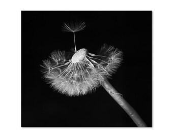 Fotografia bianco e nero Dente di leone, fotografia Tarassaco, fotografia soffione, fotografia Fine Art