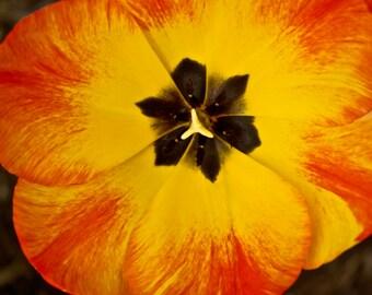 Tulip in Bloom Photograph