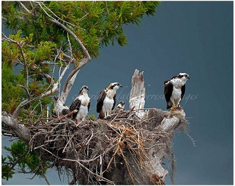 bird photography,osprey nest,Blue Cypress Lake,Florida birds,osprey photograph,fine art,Osprey young,Birds of prey,bird photo