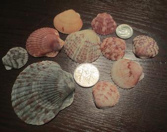 Lot of 10 Pink Calico Natural Seashells