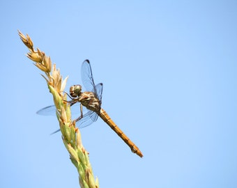 Dragonfly Photograph, Nature Photography