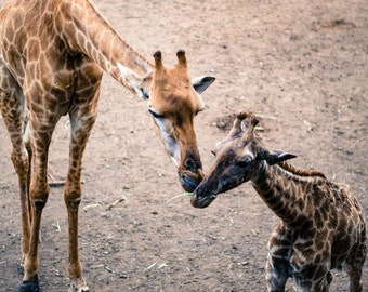 Mother Giraffe and Baby