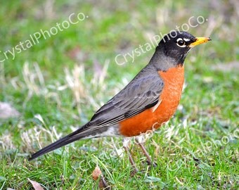 Robin on the Hunt; Robin Photography; Bird Photography; Nature Photography; Birds; Green; Red; Digital Download; Digital Photography; Animal