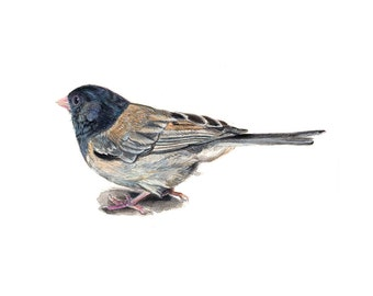 Dark-eyed junco - Fine Art Print - Bird Print - Scientific Illustration