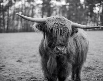 Highland Cow #3