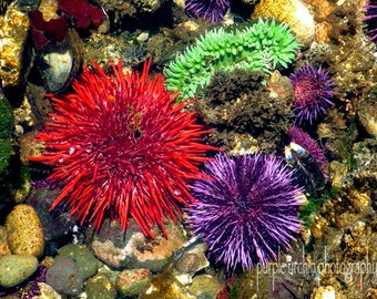 "Starfish Photography, Sea Star, Tide Pool, Ocean Decor, Nature Print, Sea Urchin, Sea Life, Home Decor, ""Sea Life Trio"""