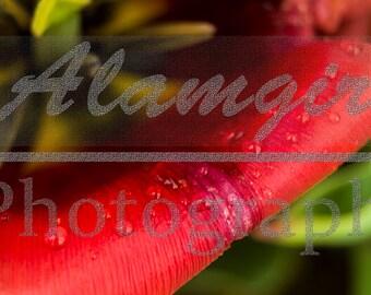 Macro shot of Red/Orange Tulip Petal