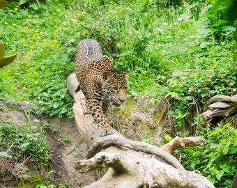 Jaguar (Canvas)