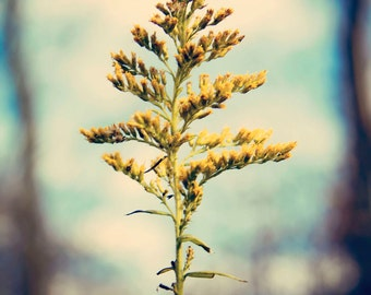 Goldenrod Print, Fine Art Photography, Nature Photography, Yellow and Blue