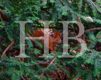 Red Squirrel Print