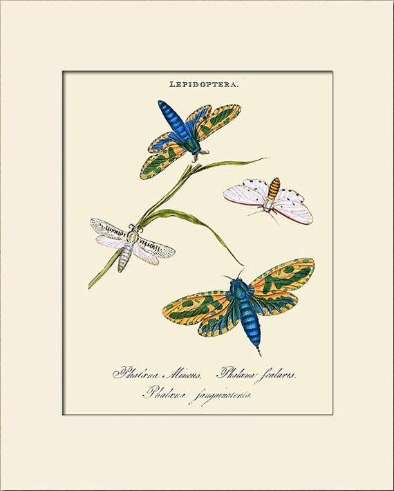 Lepidoptera, India Insect, Edward Donovan, Art Print with Mat, Natural History Illustration, Wall Art, Wall Decor, Vintage Print