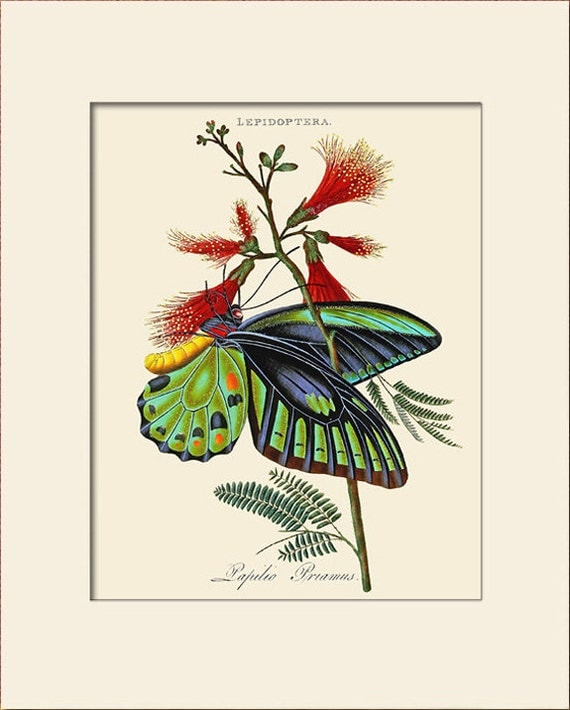 Butterfly Art Print with Mat, Papilio Priamus, Plate 15, Donovan, Natural History Illustration, Wall Art, Wall Decor, Butterfly Print