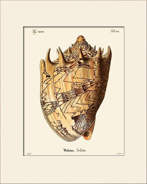 Vintage Sea Shell Print, Plate 244, Art Print with Mat, Natural History Illustration, Wall Art, Nautical Art, Costal Decor