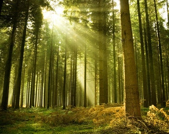 Photo Wallpaper Wall Mural for Living Room Decor, Bedroom Decor, Office or Dining Room - Sunlight Shining Through Trees In A Forest Mural