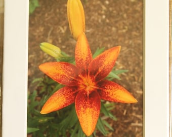 5x7 Matted Lily Buds and Bloom Photo