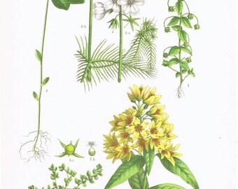 Original Botanicl Print.Floral.RARE.Vintage.Antique.Genuine.1929.French.Art.Classic.Mom.Dad.angiosperm.Plant.pretty picture.eco.flower.boho