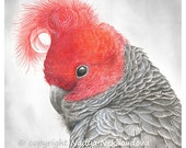 Gang-Gang Cockatoo art print - 8x8inches (20x20cm)  -  wildlife art, Australian bird, giclee print, nature decor grey and red, woodland bird