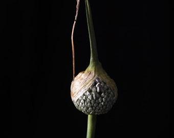 Galium seeds - Flower still life  fine art photography