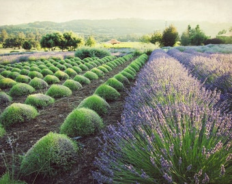 "Lavender field print purple green wall art french country rustic farmhouse garden landscape  ""July Harvest"""