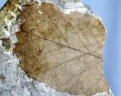 River Leaf Fossil on Rock - Eocene