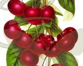 Botanical Art Cherry Digital Download Illustration Fruit Printable Clip Art Image