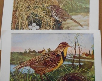 1902 Vintage bird prints, Set of 2 antique illustrations, Sparrow, Meadowlark with nest and Eggs