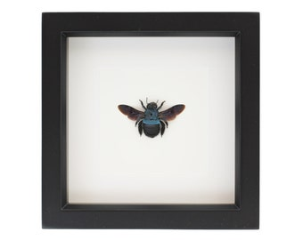 Framed Carpenter Bee Xylocopa Taxidermy Display