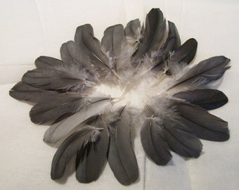 LP16-RU-3-1 - Lot of 20 Secondary Flight Wing Feathers - Congo African Gray Parrot