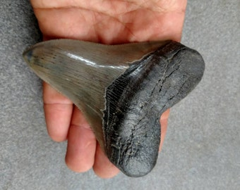 """4""""  Collector Megalodon Shark Tooth"""
