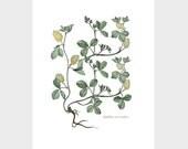 Vintage French Botanical Giclee Print - Trifolium