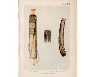 c. 1907 ANTIQUE SHELL LITHOGRAPH original antique sea life ocean print - razor clam shells